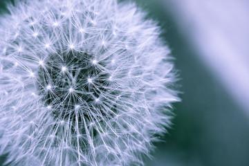 Dandelion © imagesef