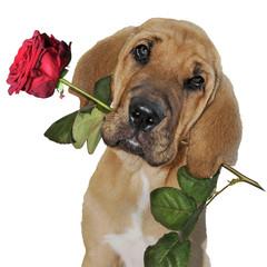 Broholmer bringt eine Rose