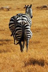 Pregnant Zebra Bums
