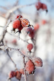 Dog rose berries with icicles and snow, in winter