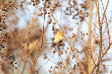 American Goldfinch (Carduelis tristis) in North America