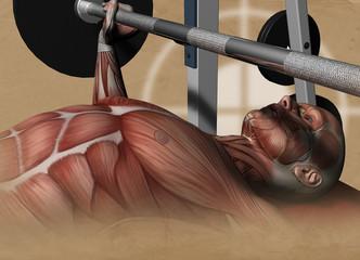 Muskelatur des Menschen