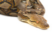 Close up of Burmese Python, isolated