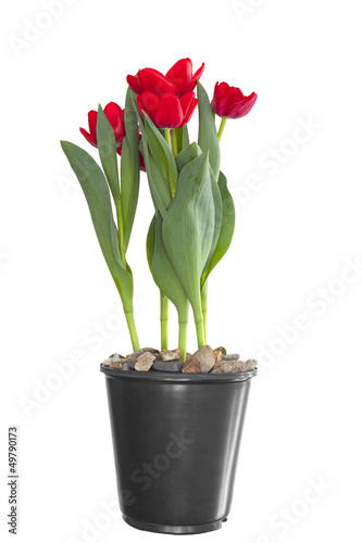 Red Tulips in planting pot, isolated on white
