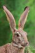 Scrub hare portrait
