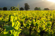 Vine leaves against a background of lush green vineyards