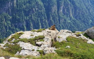 marmotte - marmots