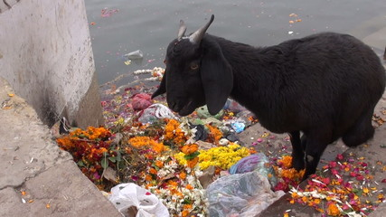 black goat on Ganges river eating ceremony flowers in Varanasi