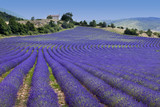 Endless rows in lavender field (Provence,France)