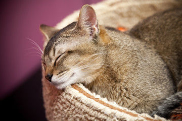 Brown short-haired cat sleeps on the bed
