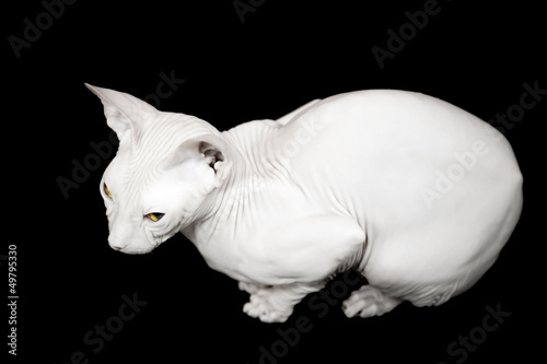 White Don Sphinx cat isolated on black background