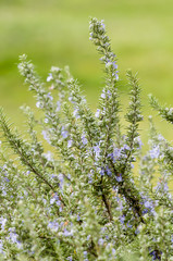 Plants of Rosemary