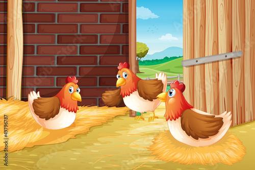 Foto op Canvas Boerderij Three chickens nesting