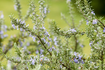 Plants of Rosemary