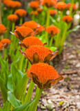 Scadoxus puniceus, ,Paintbrush Lily