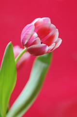 tulpe auf pink