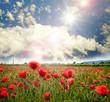 Mohnblumenwiese und strahlend schöner Sommerhimmel