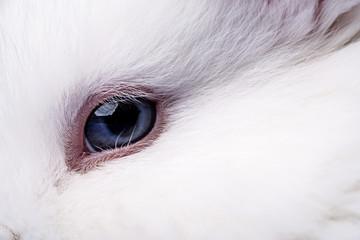 eye of a white rabbit