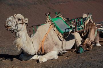Kamelsafari, Timanfaya Nationalpark, Lanzarote