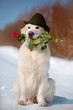 golden retriever dog holding a rose flower in the mouth