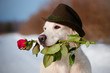 golden retriever dog holding a rose and wearing a hat
