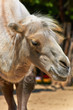 Funny camel in the zoo closeup photo