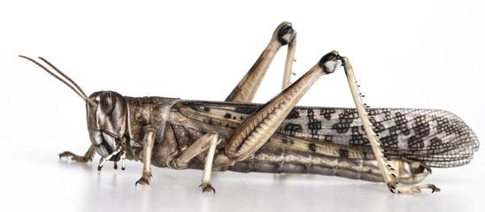locust - schistocerca gregaria on a  white background