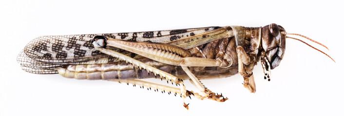 dead locust - schistocerca gregaria