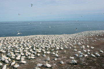 Large colony of northern gannets (Morus bassanus), breeding