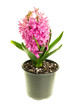 Pink Hyacinth in bloom isolated on white