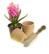 Pink Hyacinth in bloom with pots and trowel