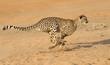 Cheetah running, (Acinonyx jubatus), South Africa - 49827738
