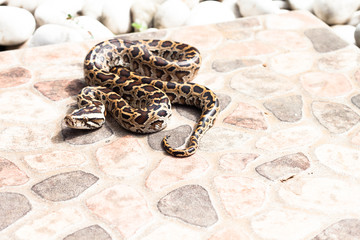 Burmese python (Python molurus bivittatus) on the backyard