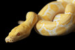 Tiger Albino Python over black