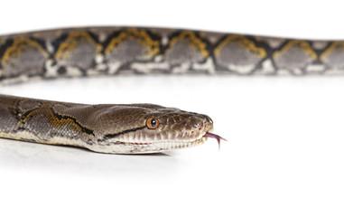 Python snake over white