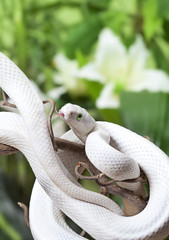 Texas rat snake on a branch
