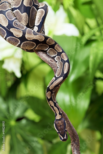 Royal Python on a branch