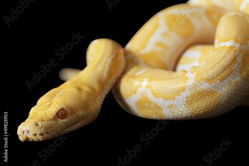 Tiger Albino Python over black