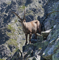 Alpine ibex wild goat lives in  mountains of Europe