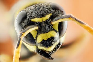 Testa di vespa