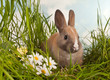 Baby rabbit and daisies