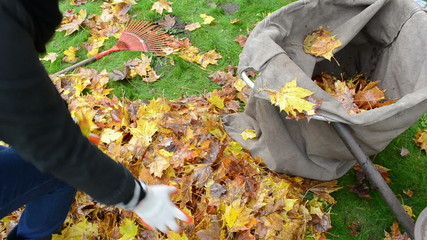 closeup woman hands gloves load tree leaves bag. autumn works