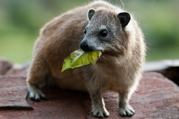Rock Hyrax with leave in mouth.