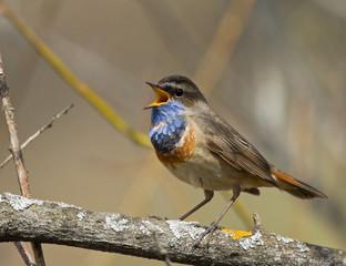 Singing Bluethroat on branch