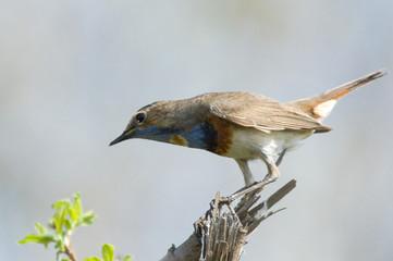Bluethroat sitting on dry branch