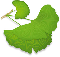 Ginkgo leaves, isolated