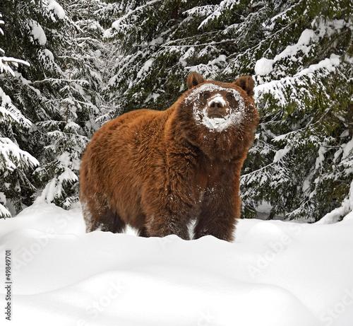 Papiers peints Ours Blanc Brown bear