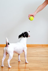 Jack russell terrier going to play with ball