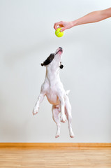 Full-length jack russell terrier playing with ball