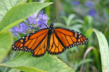 Glorious Monarch Butterfly